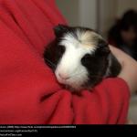 Guinea Pig Pets of Long Ago
