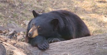 Living with the Black Bears