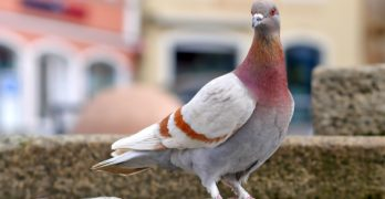Pigeons Sound the Alarm with Whistling Feathers
