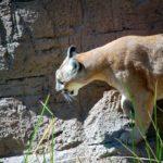 Walk with a Cane, Spot a Cougar