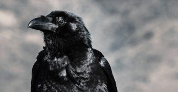 Ravens are Amazing